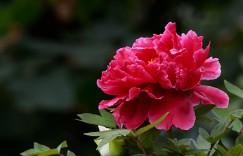 牡丹花是碱性花卉还是酸性花卉?牡丹种植技巧